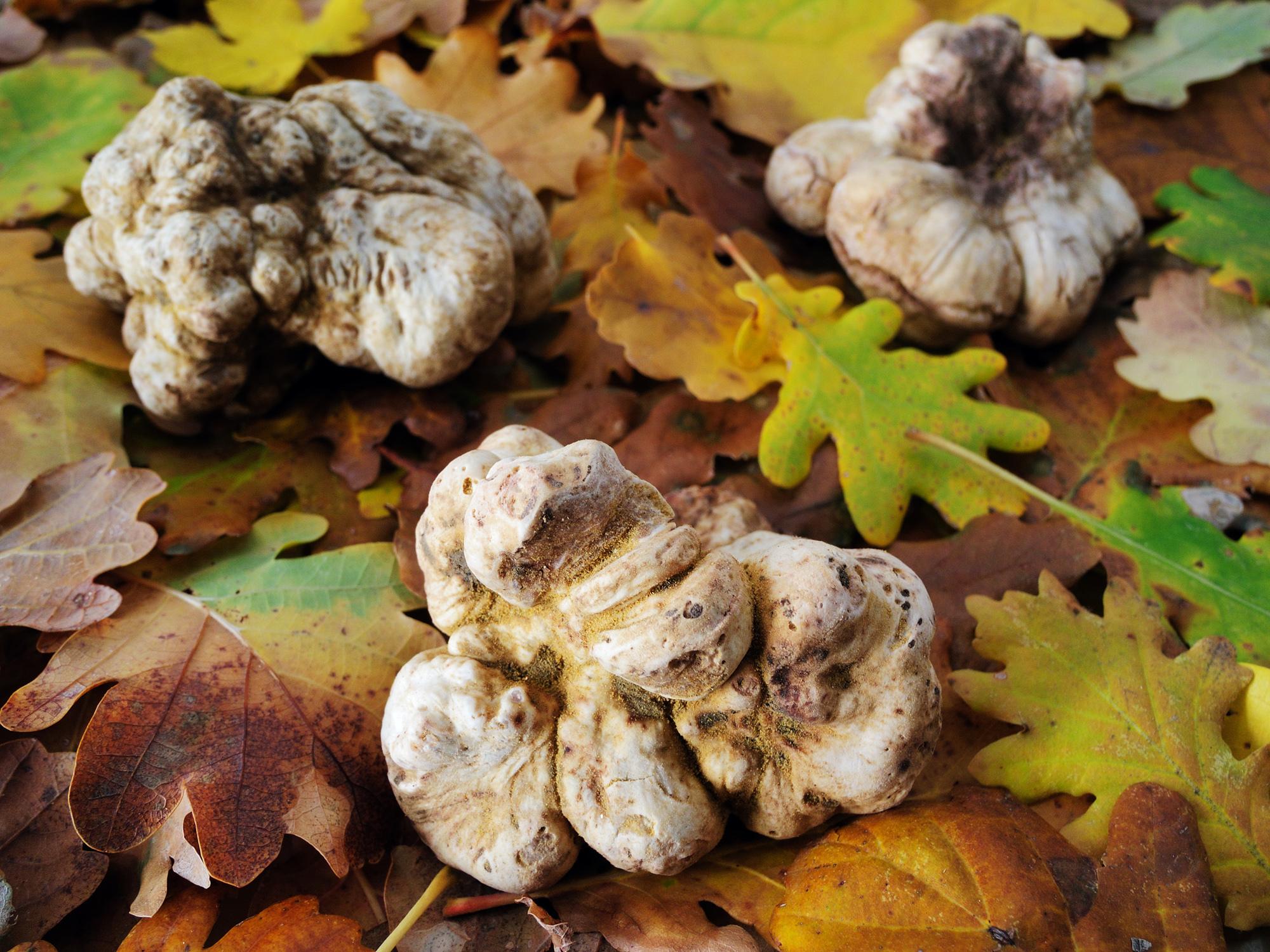 Elements_Italian White Truffle